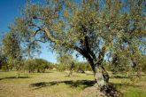 Spoleto festeggia l'olio nuovo con 'Frantoi Aperti'