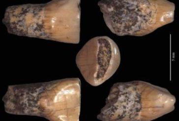 Il dentino preistorico sta per tornare ad Isernia