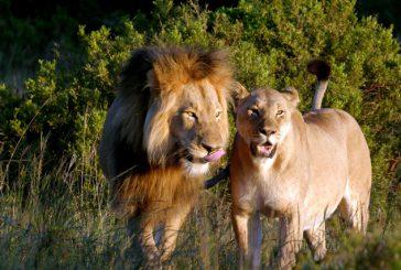 Dal Kenya alla Tanzania ecco dove si può soggiornare nelle location de Il Re Leone